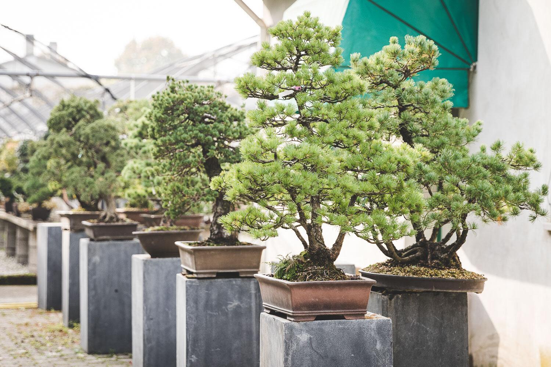 bonsai in esposizione