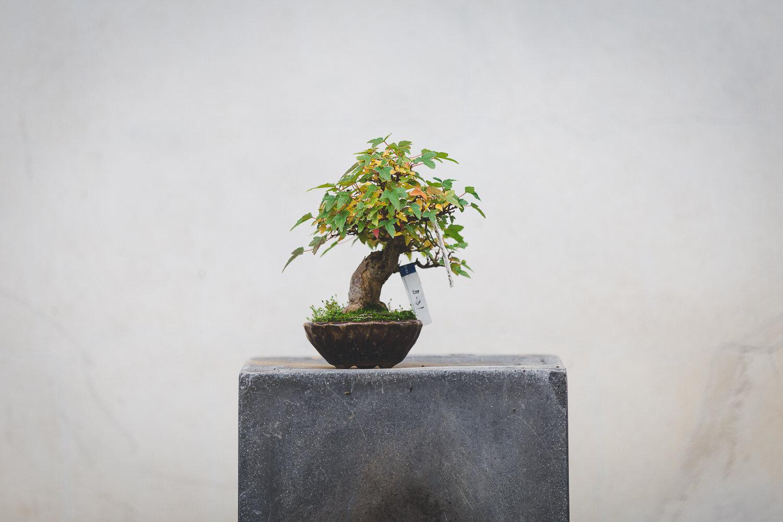 bonsai in vendita